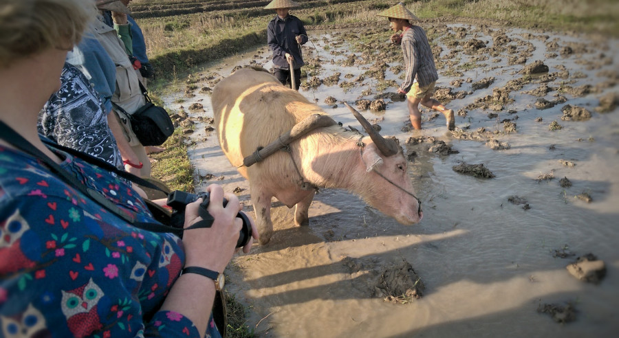 Rudolf, the water buffalo, in action.