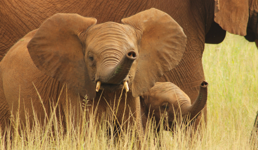 Endangered Animals Elephants