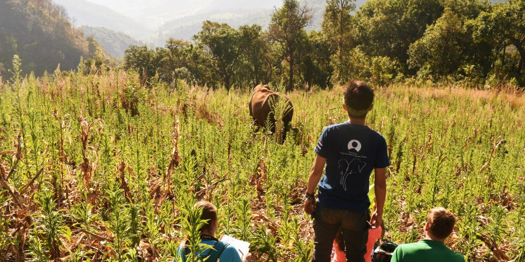 A mahout (elephant carer) standing in a field and observing an elephant from a distance.