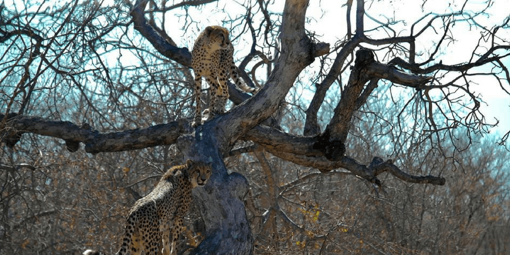 Sometimes you'll find the odd cheetah in a tree.