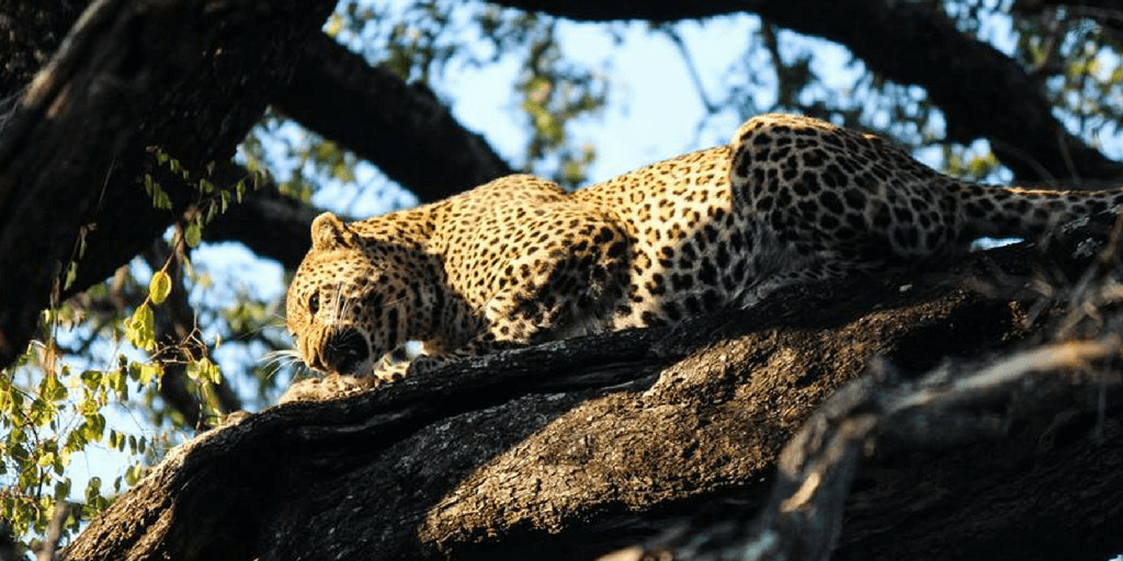 A leopard eating in a tree.