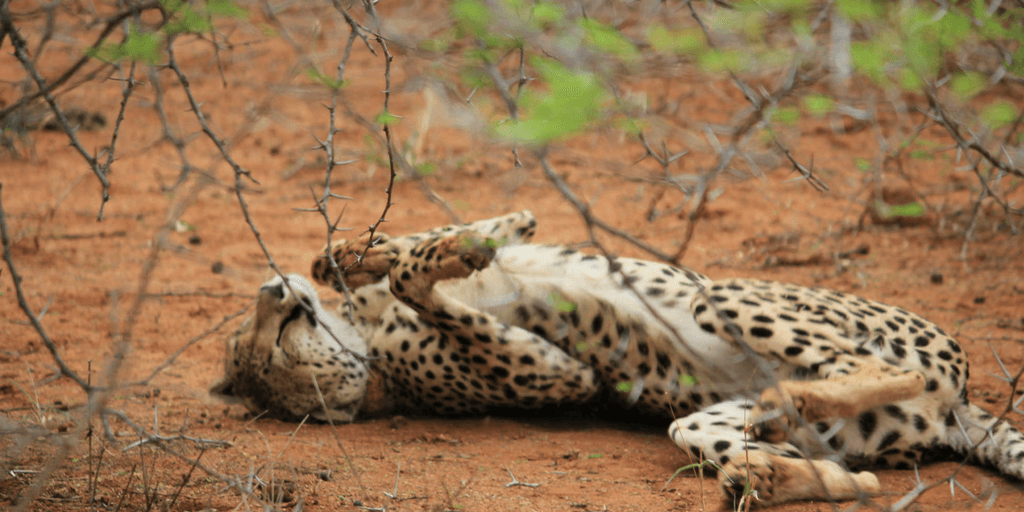 all about cheetahs fun facts why cheetahs are facing extinction