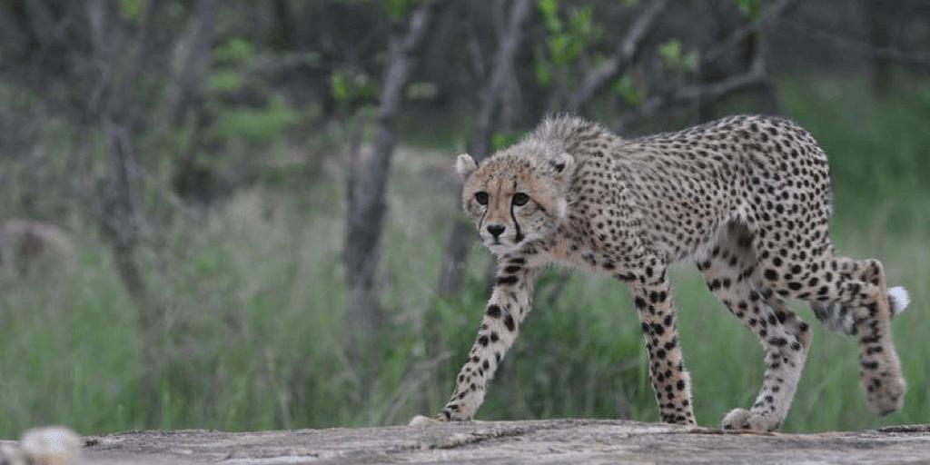 images of cheetahs, cheetahs hunting