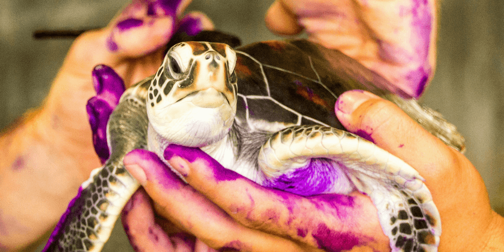 Spend a gap year on an animal and turtle conservation program.