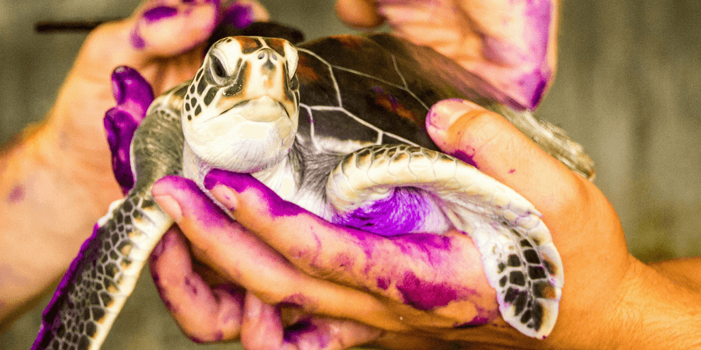 Summer Turtle Conservation And Research Program In Thailand