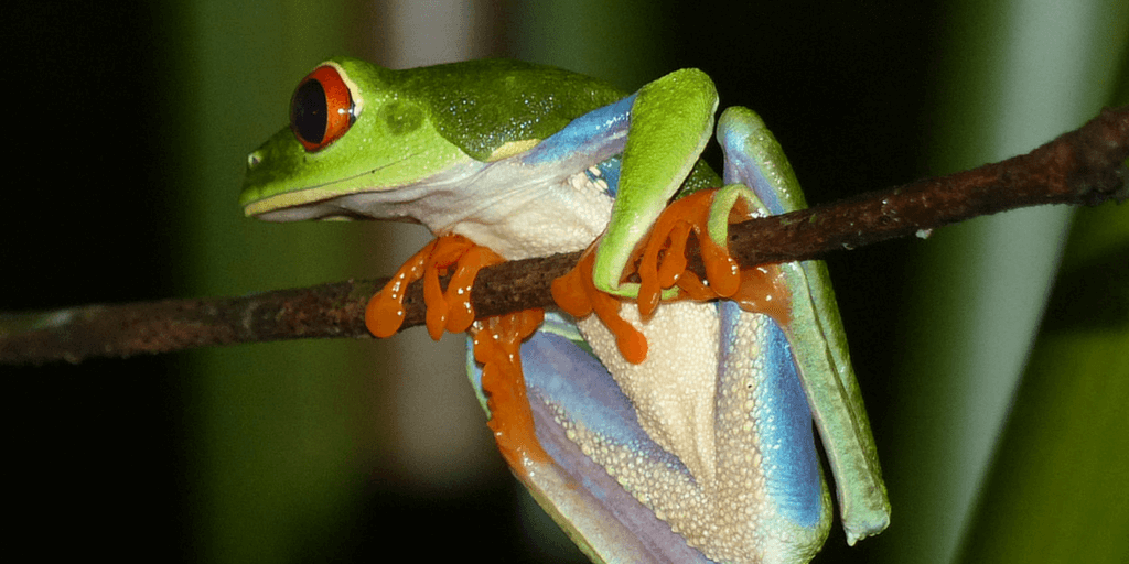 Summer Reptile And Amphibian Diversity Research Program In The Costa Rica Rainforest