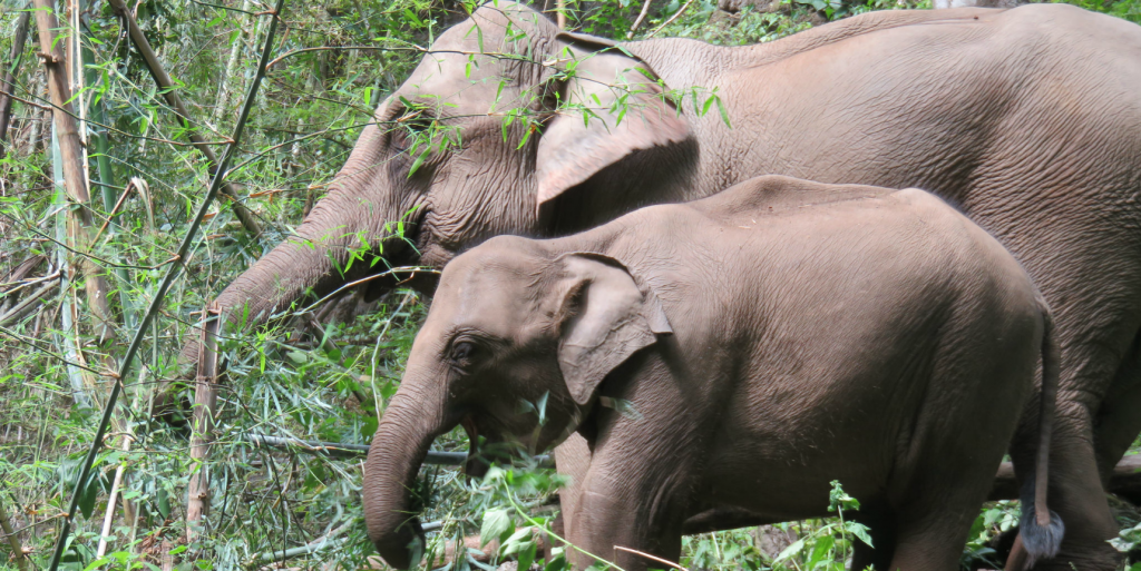 Volunteer with Asian elephants.