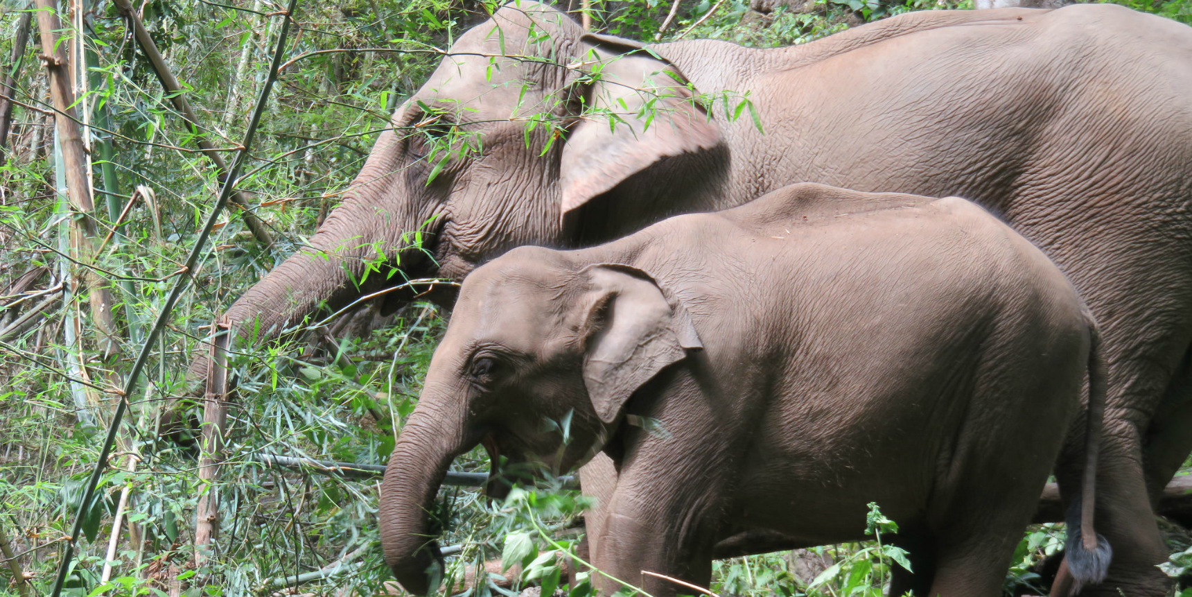 Volunteer with elephants and learn how to track and analyse their behaviour on GVI's wildlife conservation internship.