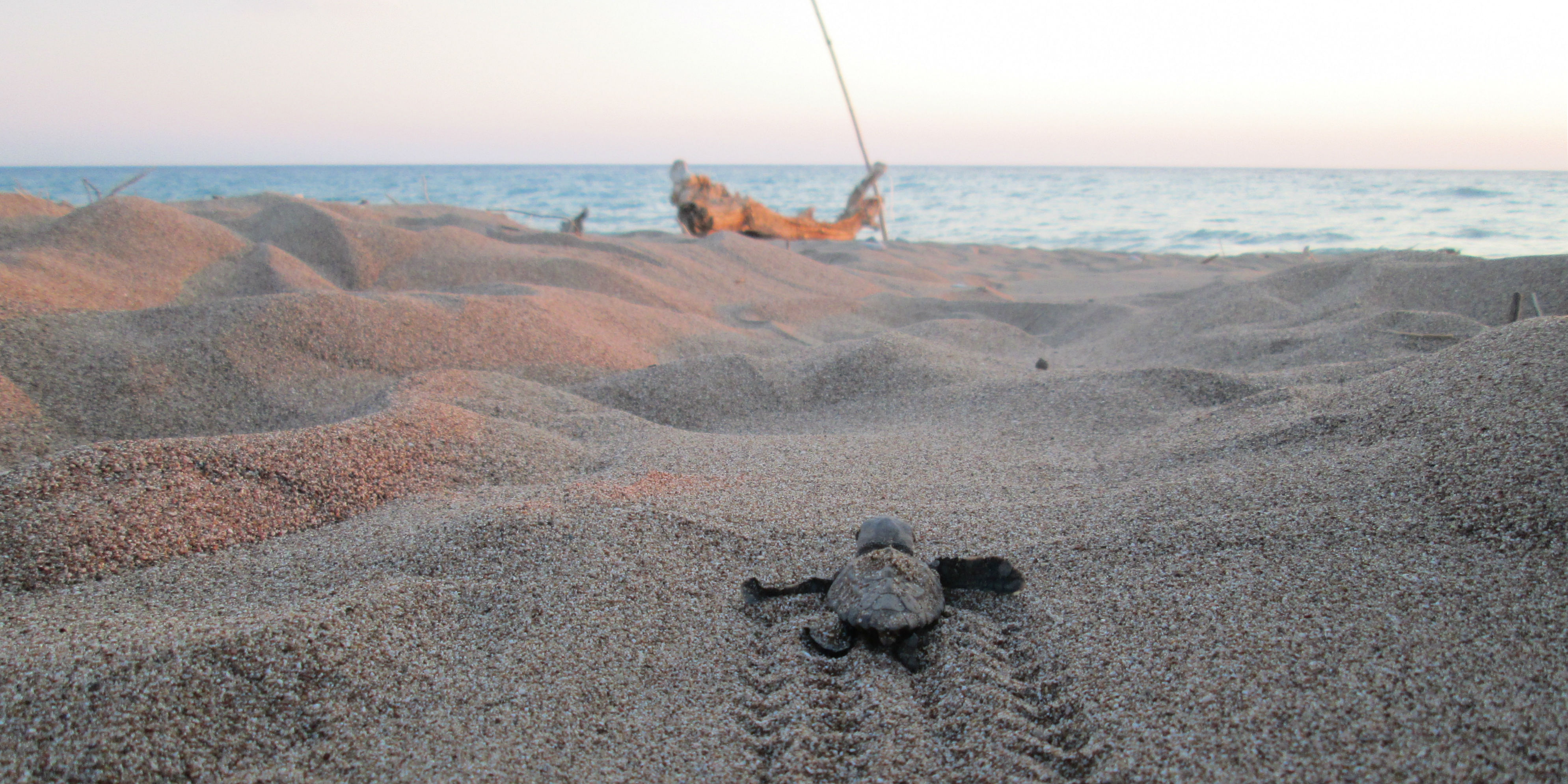 baby loggerhead turtles