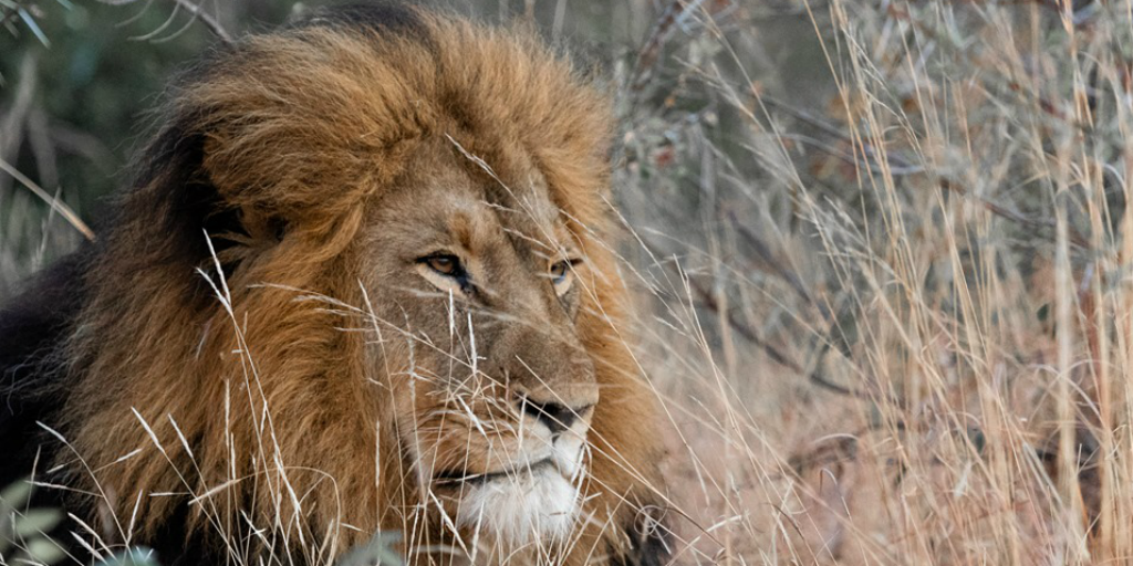A male lion, lying in long grass in the African savannah.
