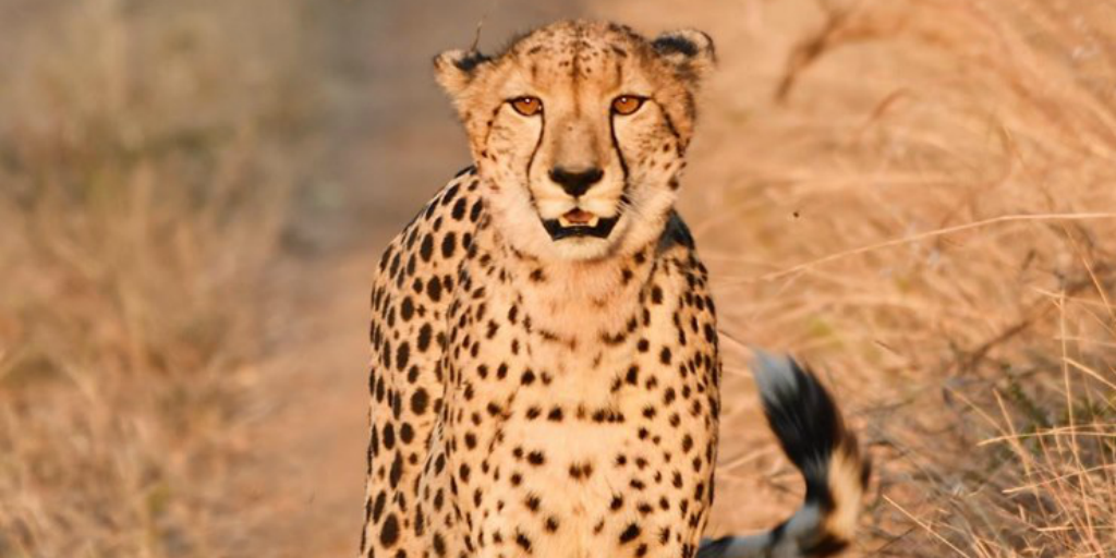 The cheetah can be identified by its teardrop marks.