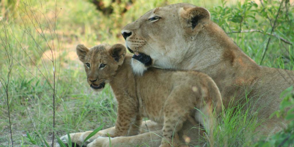 lion and cub big five