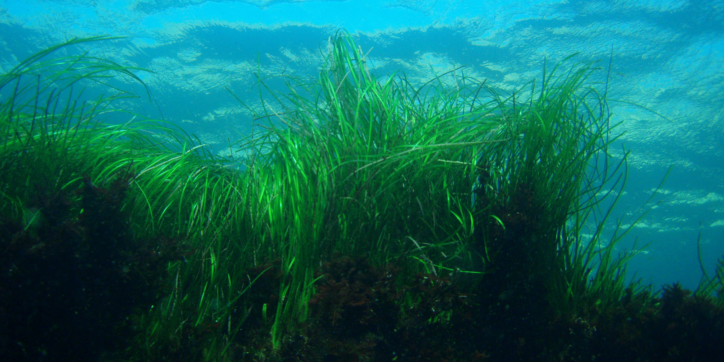 what is seagrass