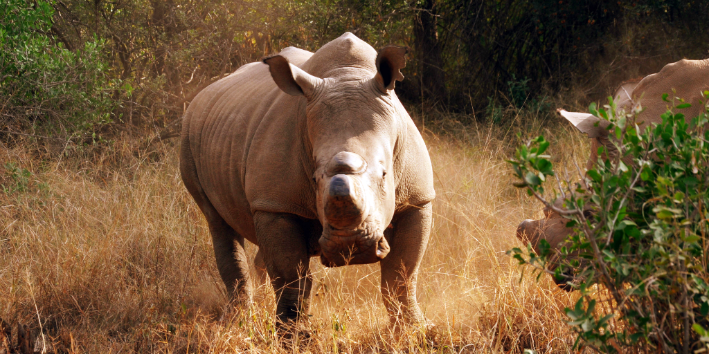 As a participant in African wildlife conservation you might assist in the preservation of African rhino such as this.