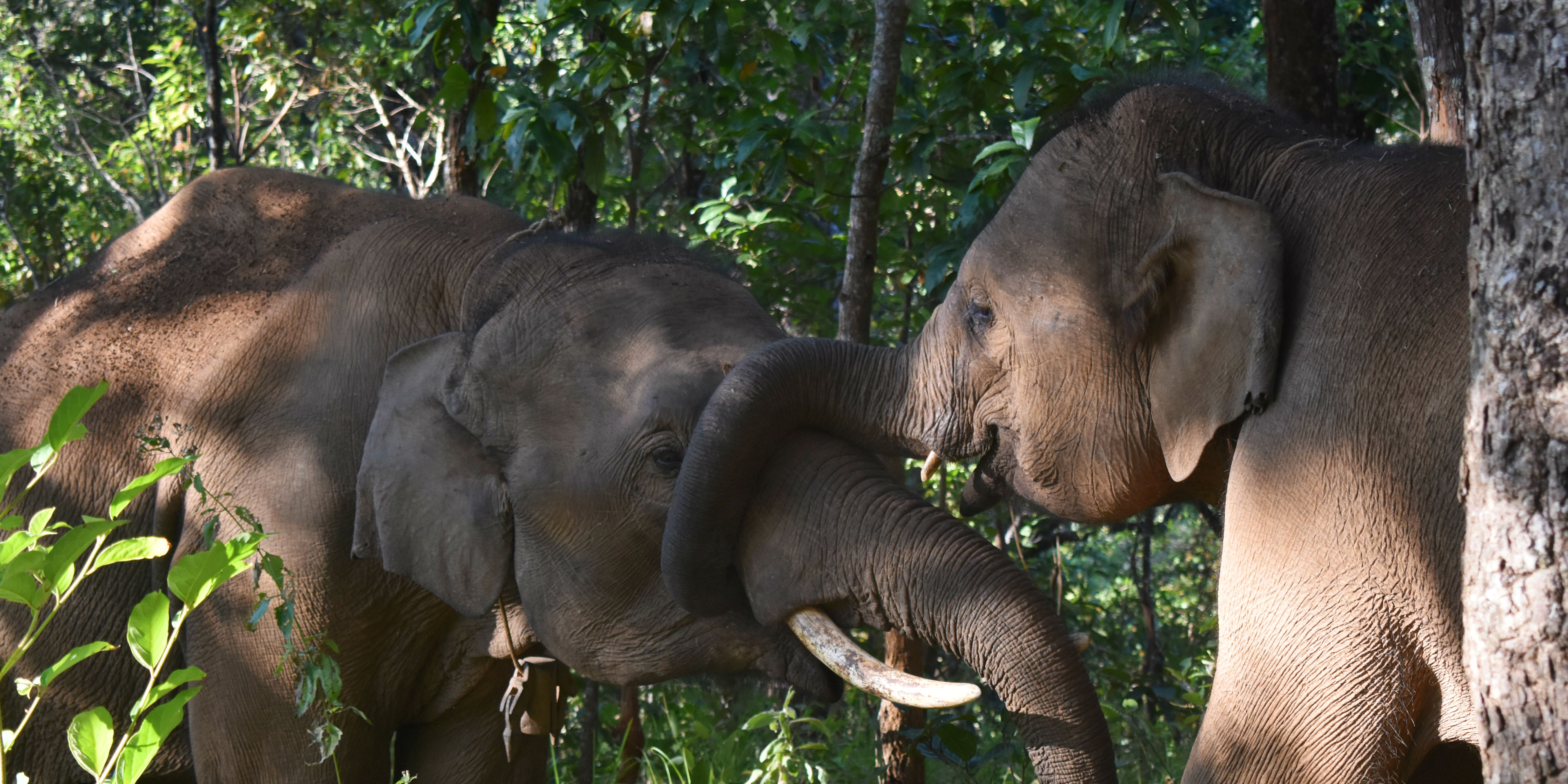 An elephant wraps its trunk around a companion. While volunteering with elephants in Thailand, GVI participants are able to witness this kind of natural behaviour first-hand.