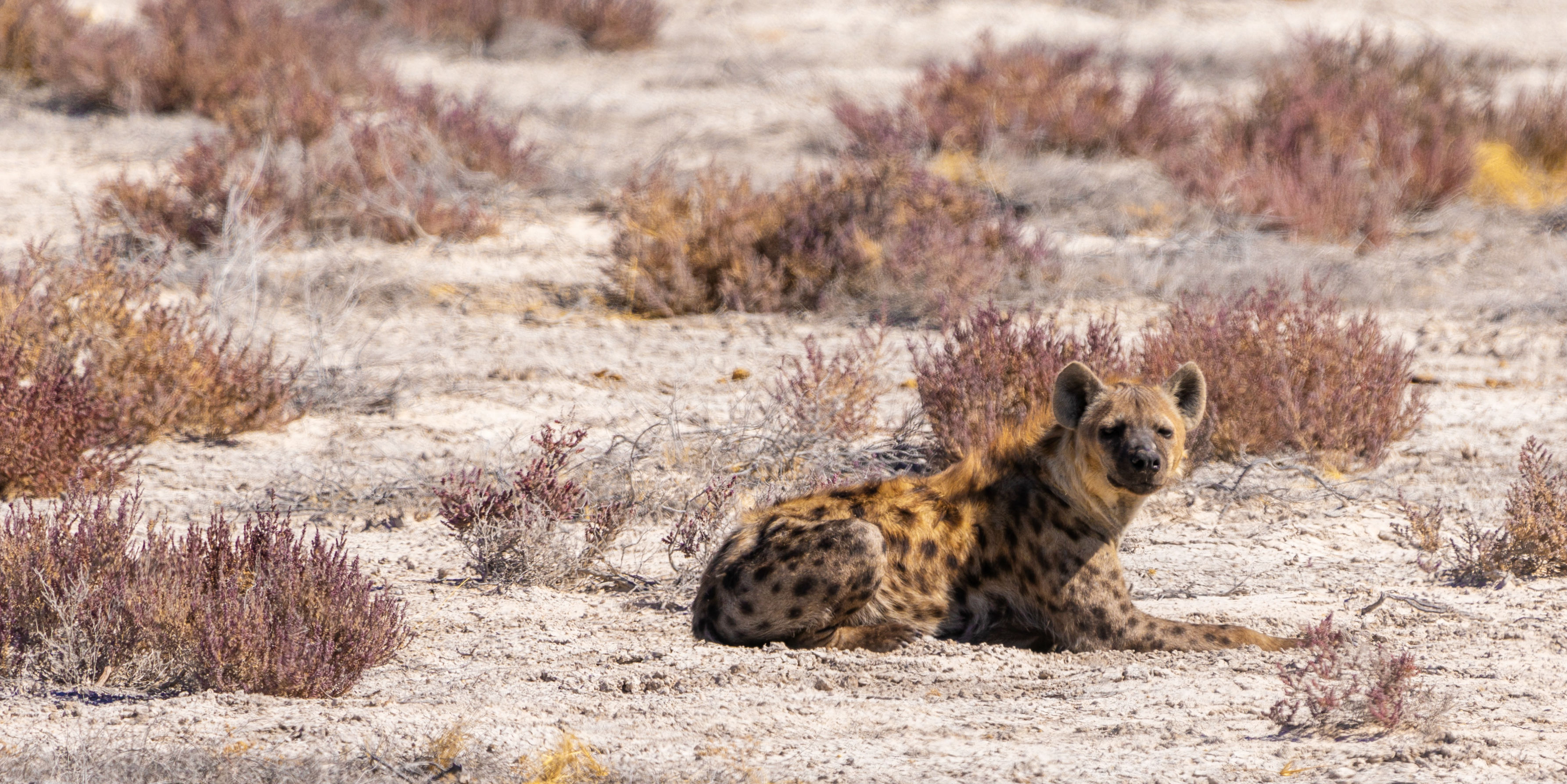 Africa animal volunteers might get a glimpse of spotted hyenas like this one, while on a GVI program.
