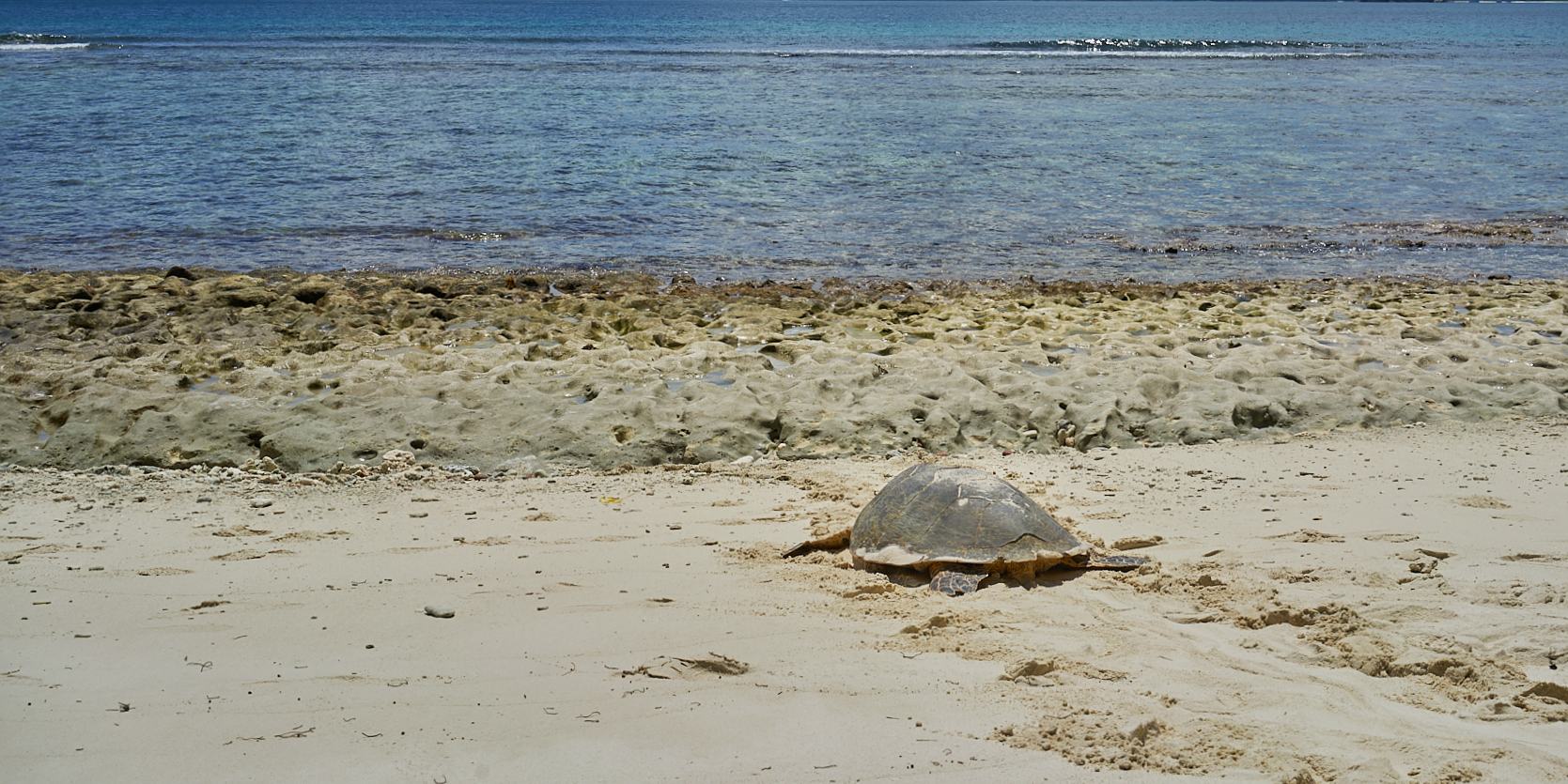 A hawksbill turtle returns to the ocean on Curieuse Island.