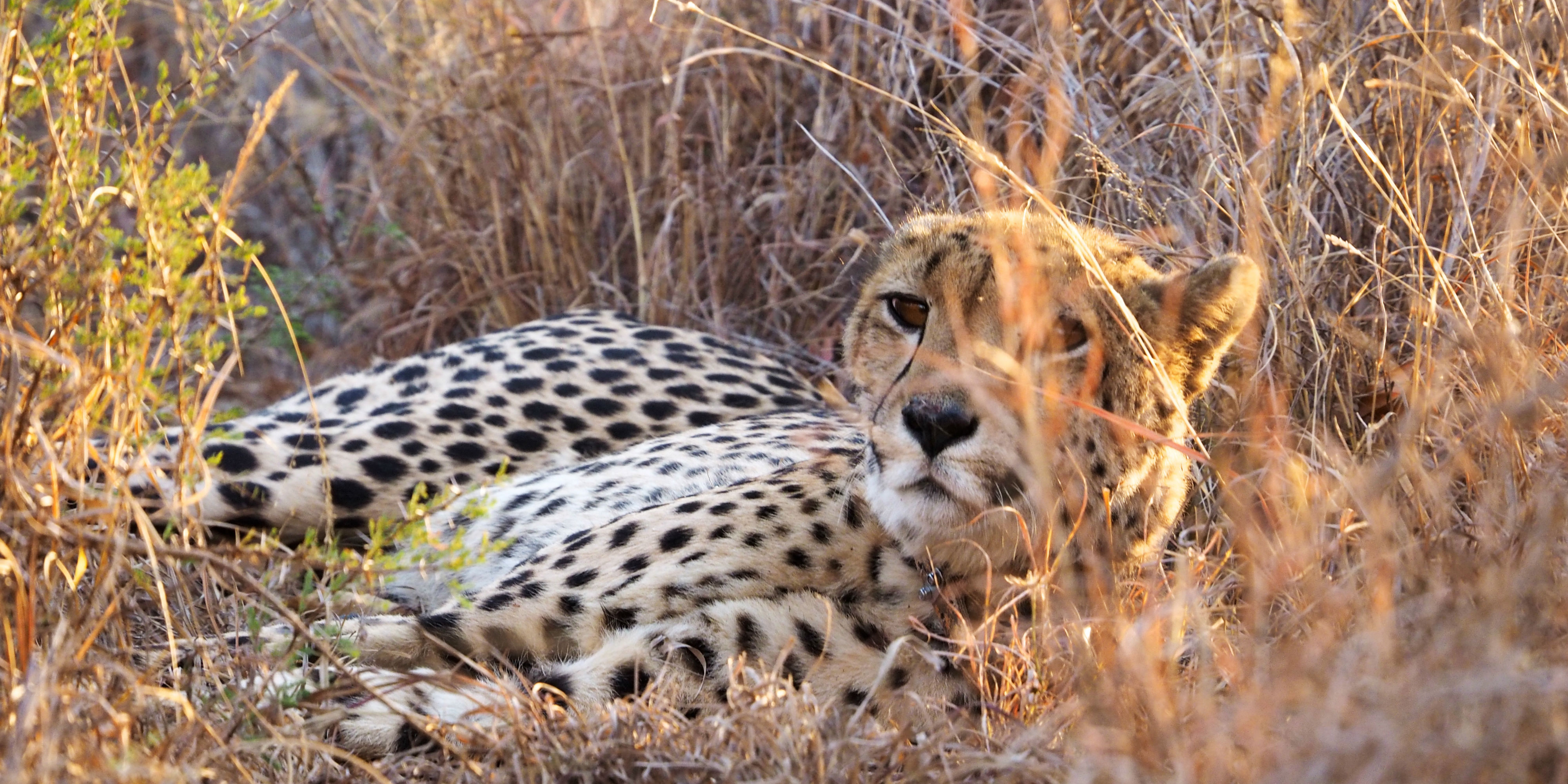 A female cheetah peers through the South African grassland. She is monitored as part of the GVI animal volunteer programs.