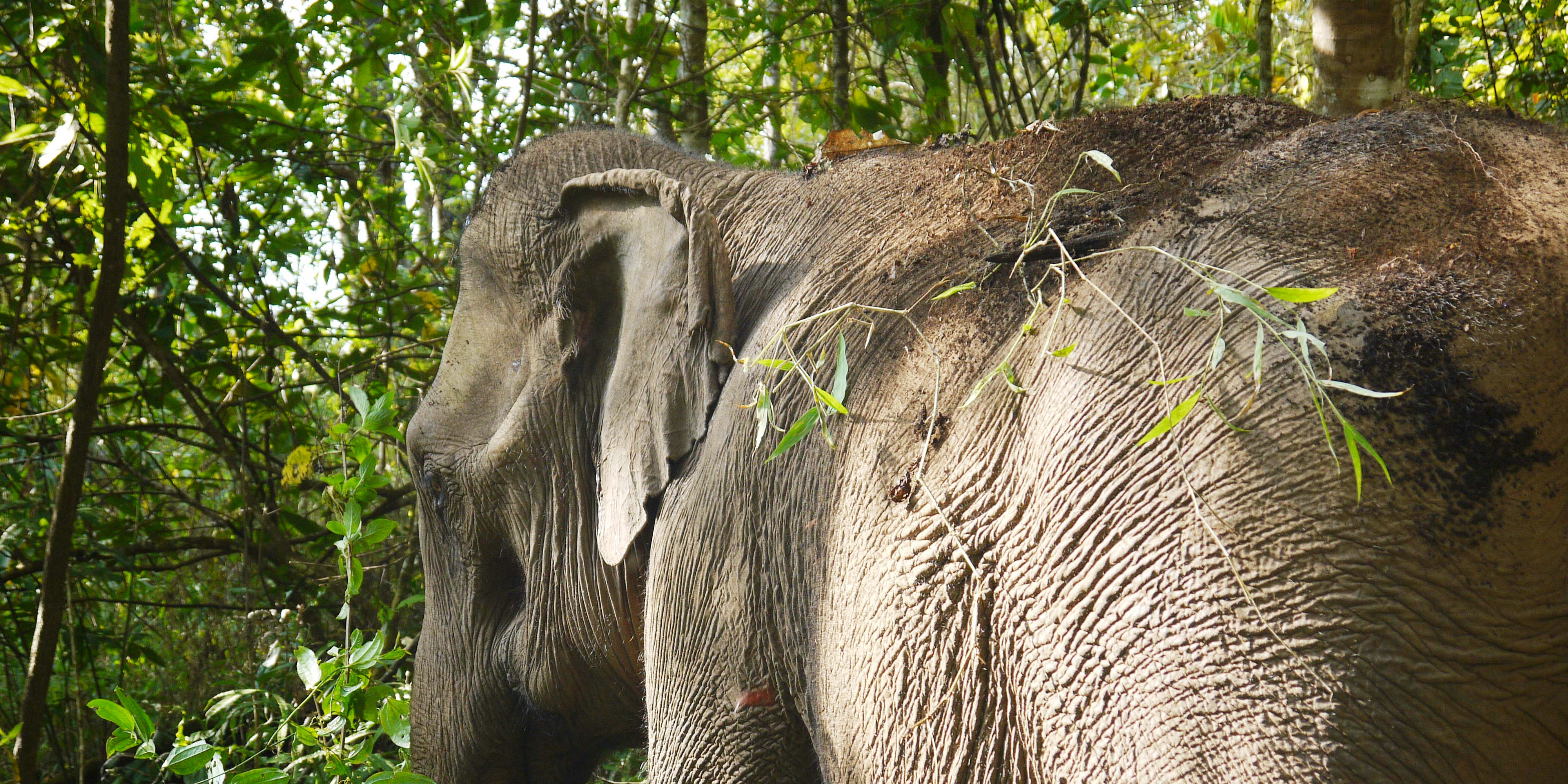 An elephant spends time in its forest habitat in the hills of Chiang Mai. This elephant is part of a volunteer with elephants program with GVI.