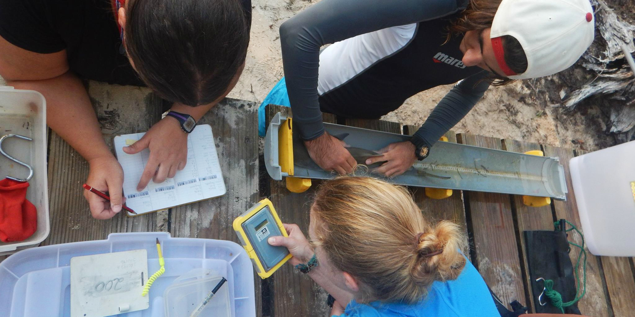 GVI participants record data on a sicklefin lemon shark pup while on one of our animal volunteer programs.