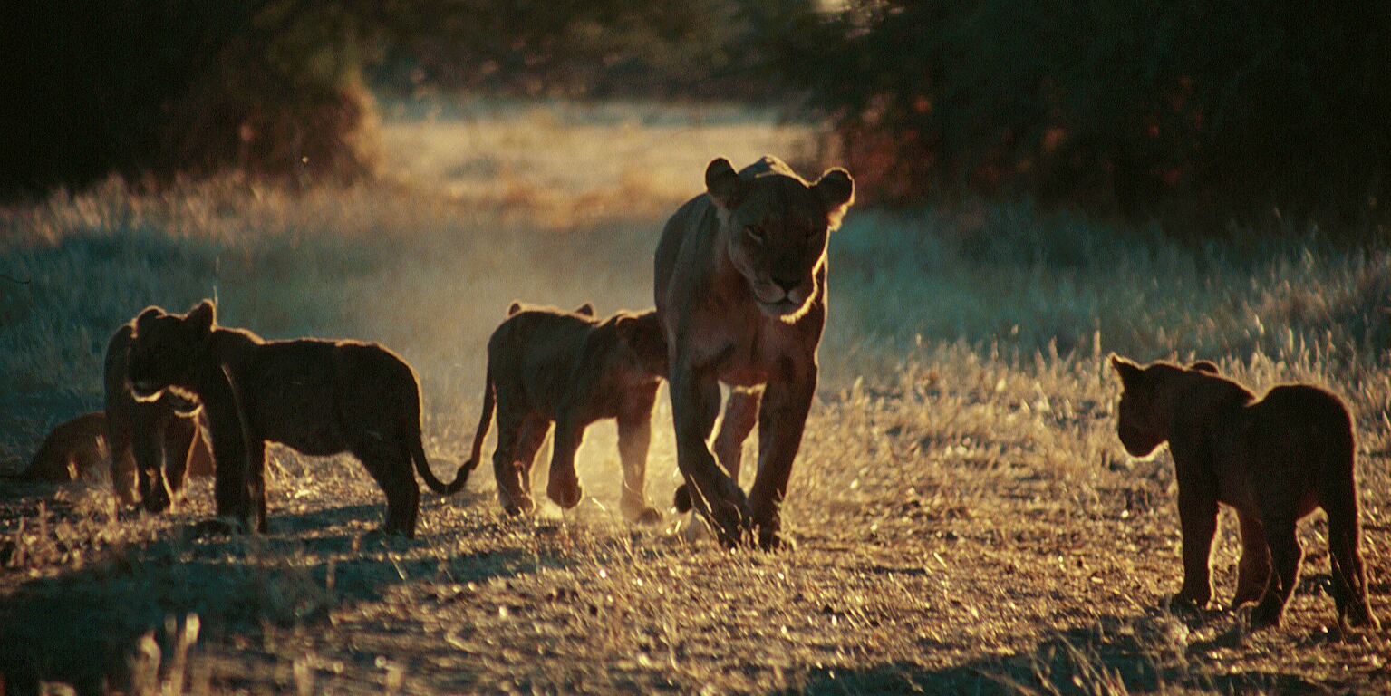 A female lion and her cubs are spotted by participants on a African wildlife conservation program.