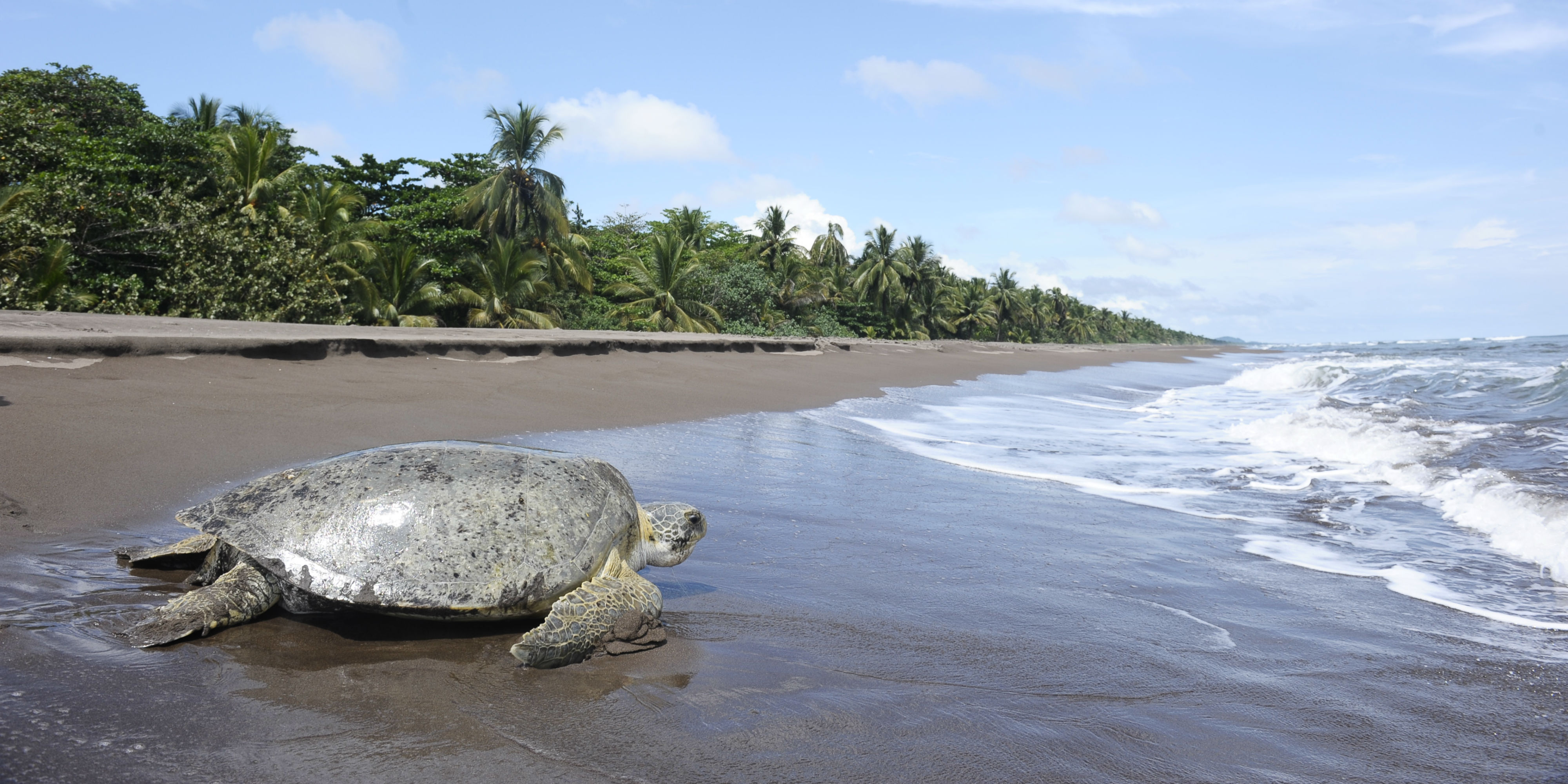 The endangered green sea turtle makes its way back to the ocean on a beach in Costa Rica.
