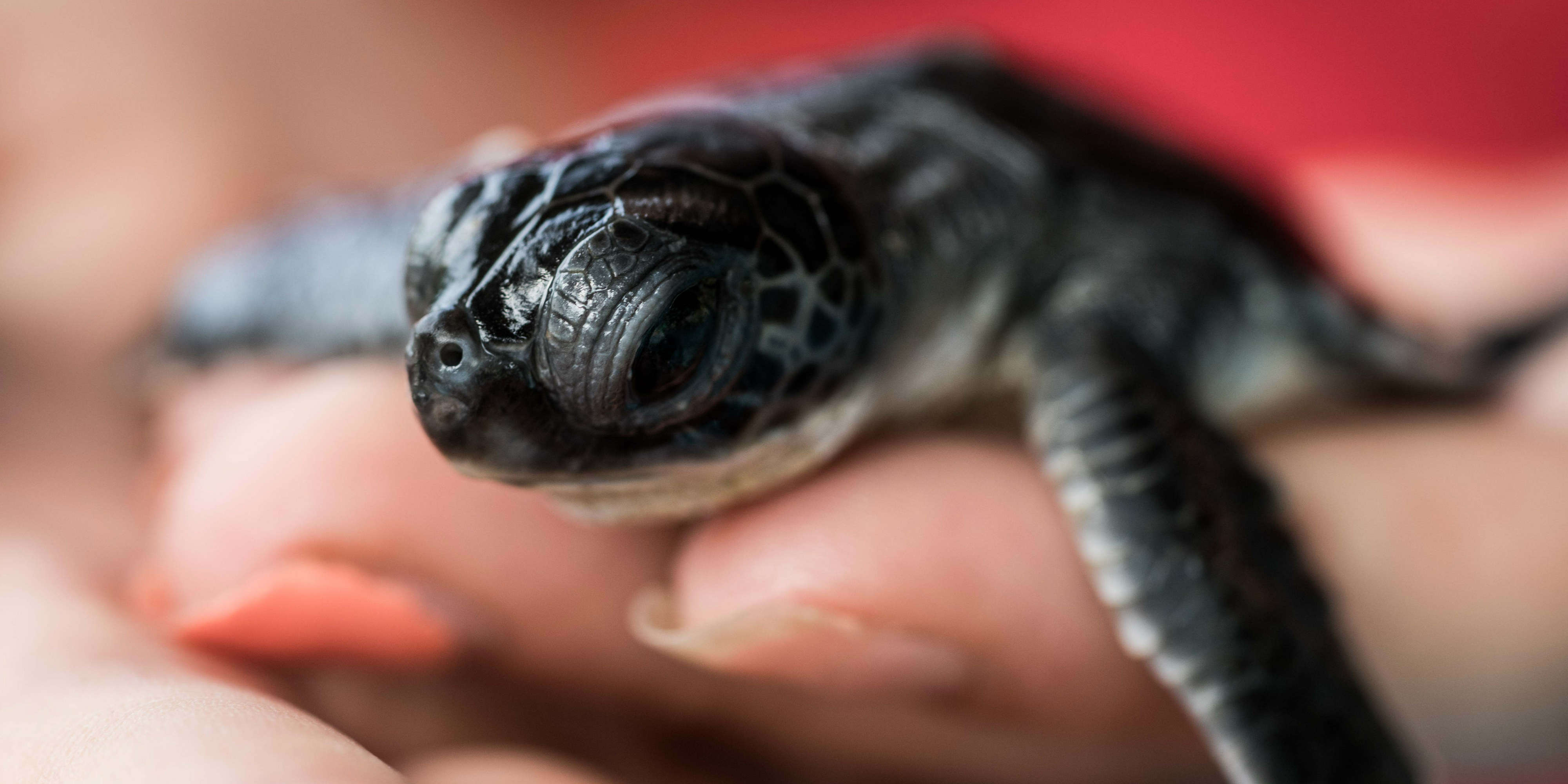 A GVI participant cleans and disinfects a turtle hatchling in Phang Nga.