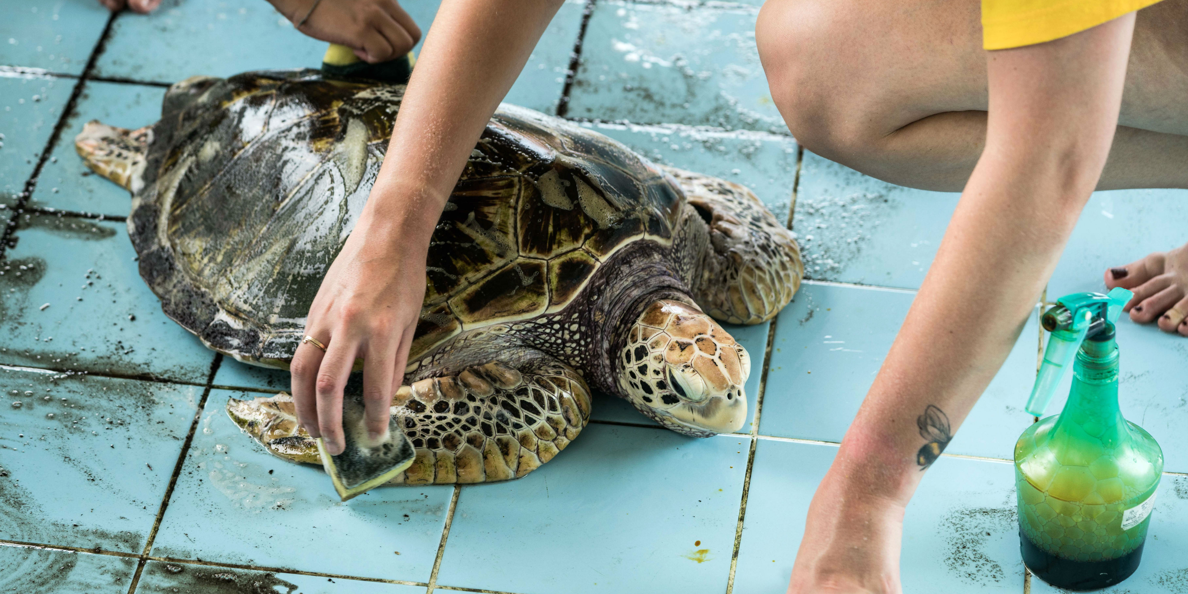 A GVI participant cleans and disinfects an endangered hawksbill turtle as part of one of GVI's sea turtle volunteer programs.