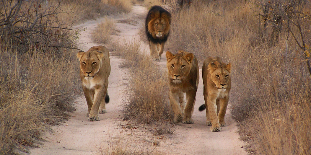 See lions when you volunteer on a wildlife conservation trip in South Africa