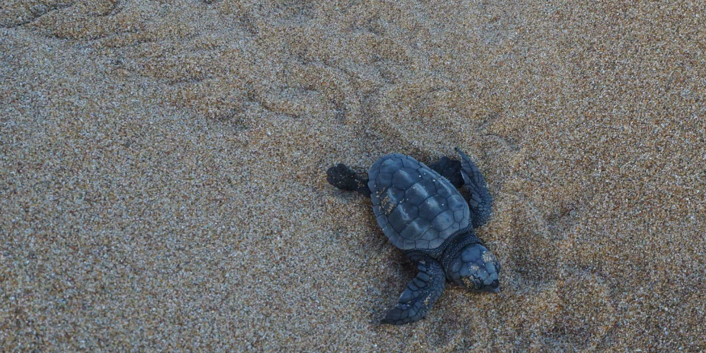 Light pollution lessens turtle hatchlings chance of survival