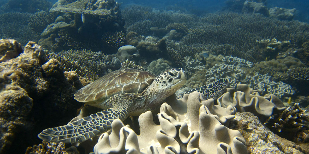 Volunteer scuba diving helps research coral bleaching