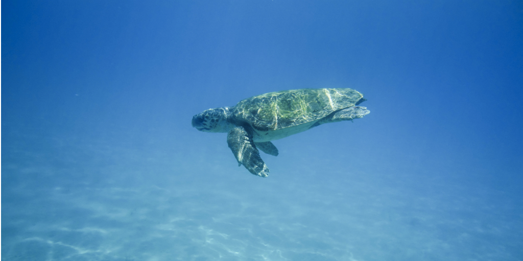 Sea turtle swimming in the ocean