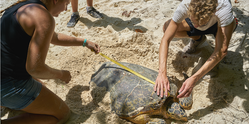 GVI volunteers measuring an adult sea turtle in Curieuse, Seychelles.
