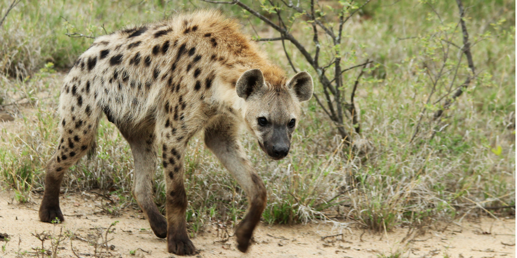 Contribute to hyena conservation in South Africa