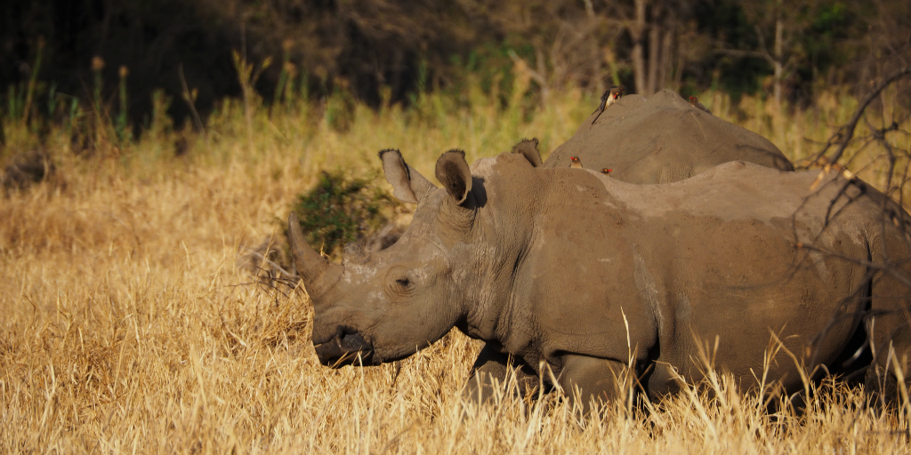 Volunteering in Africa with Animals will allow you to get a glimpse of the rare rhino in person