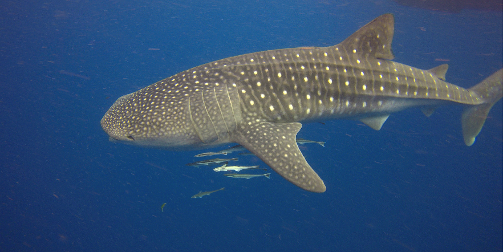 A shark in the ocean, with other fish swimming beneath it.
