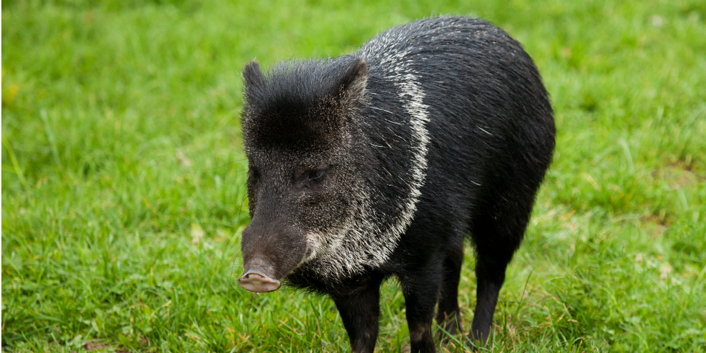 Unusual animals include the collared peccary.