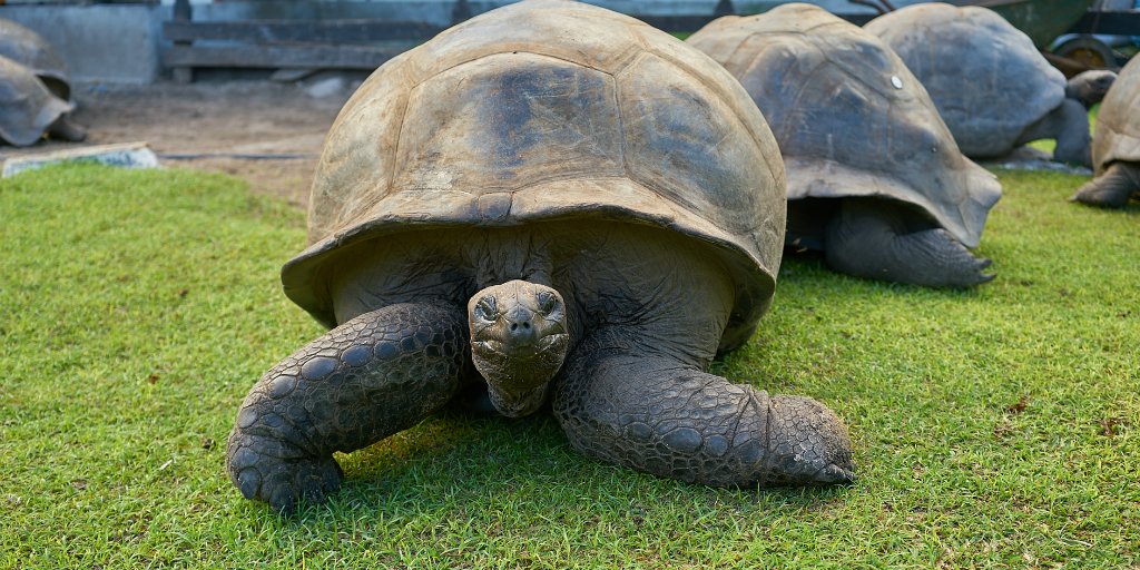 A group of giant tortoises on a lawn.
