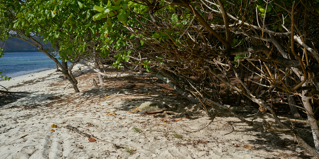 A mangrove forest on Curieuse island